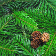 Fresh green fir branch - Foto Stock