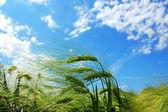 зерна пшеницы под голубым небом — Стоковое фото
