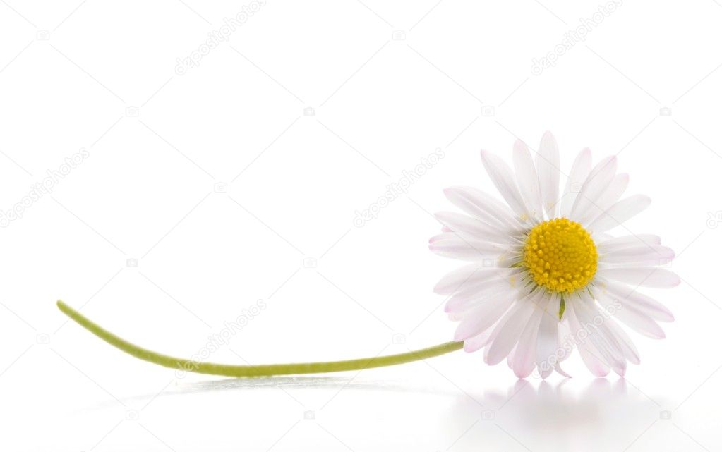 Daisy flower isolated on white background with copyspace  — Stock Photo #3304945