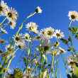 Daisy flower under blue sky - Stock Photo