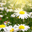 Daisy flower on a summer field — Foto Stock