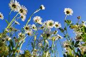 цветок ромашка под голубым небом — Стоковое фото