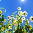 Stock Photo: Daisy flower in summer with blue sky
