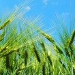 Wheat grain under blue sky - Stock Photo
