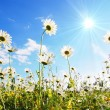 Flower in summer under blue sky -  