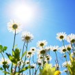 Daisy flower in summer with blue sky - Foto Stock