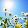 Daisy flower in summer with blue sky -  