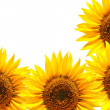 Sunflower - Foto de Stock