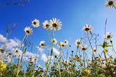 Daisy flower van onderen met blauwe hemel — Stockfoto