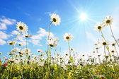 Flower in summer under blue sky — Stock Photo