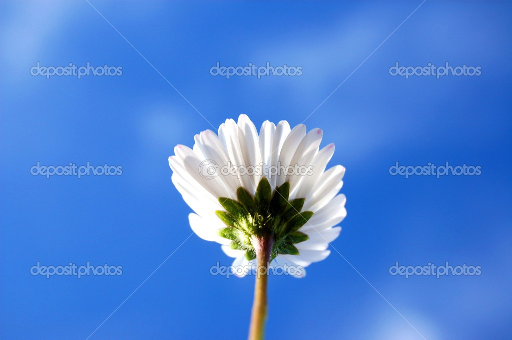 Daisy from below under blue sky in summer  Stock Photo #3440636