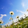 Flower in summer under blue sky — Stock Photo