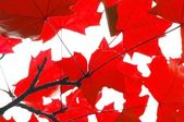 Red fall leaves — Stock Photo