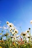 Blumen auf wiese im sommer — Stockfoto