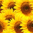 Stock Photo: Sunflower background