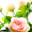 Stock Photo: Rose flowers