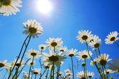 Daisy flower in summer — Stock Photo