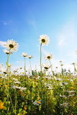 цветок в летнее время под голубым небом — Стоковое фото