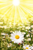 Flower and sun — Stock Photo