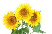 Girassol flor — Fotografia Stock