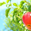 Apple on tree — Stock Photo