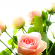 Rose flower - Foto de Stock