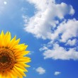 Stock Photo: Sunflower and blue sky