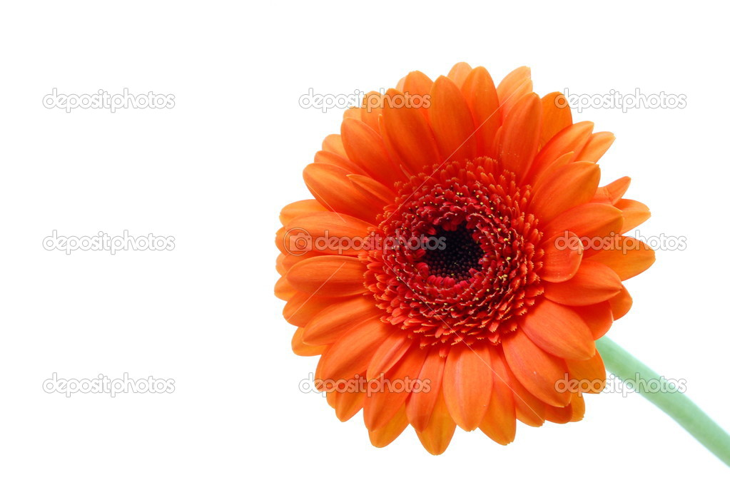 Gerbera daisy flower isolated on white background — Stock Photo #3754326