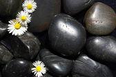 Kwiaty daisy na czarnych kamieni — Zdjęcie stockowe