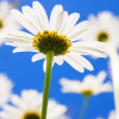 Daisy flower in summer — Stock Photo #3834159