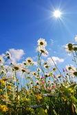 Yaz çayır çiçekler — Stok fotoğraf