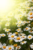 Daisy flower on a summer field — Stock Photo