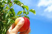 Apple op boom — Stockfoto