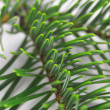 Green fir — Stock Photo #3919711