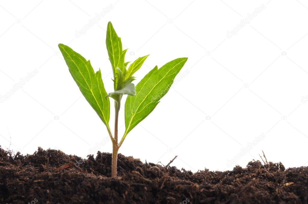 Young plant isolated on white showing growth ecology or hope concept  Stock Photo #3919438