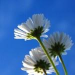 Daisy under blue sky — Stock Photo #3979574