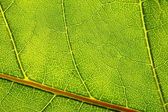Structure and texture of green leaf — Stock Photo