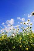 цветы ромашки в летнее время — Стоковое фото