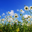 Daisy flowers in summer - Foto de Stock