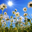 Daisy flower from below with blue sky — Stock Photo