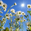 Stock Photo: Daisy flower under blue sky