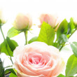 Rose flower - Foto Stock