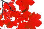 红色秋天的叶子 — 图库照片