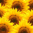 Sunflower background — Stock Photo #4067062