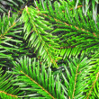Fresh green fir branch — Stock Photo #4104090