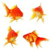 Goldfish collection — Stock Photo