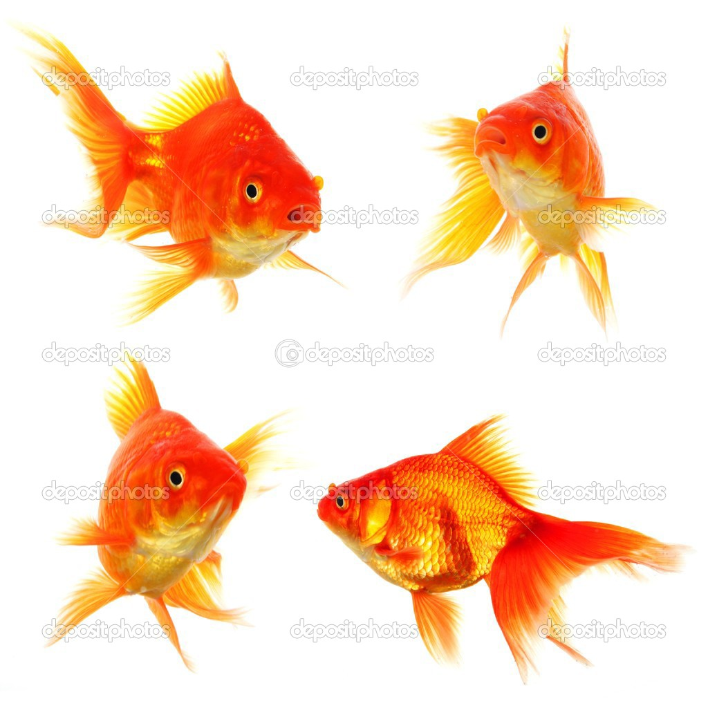 Goldfish collection or group or fishes isolated on white background — Stock Photo #4245525