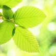 Green summer leaf — Stock Photo #4308655