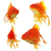 Goldfish collection — Stock Photo