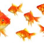 Постер, плакат: Goldfish